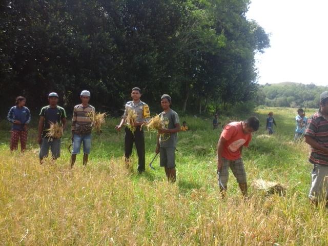 Jalin keharmonisan, Bhabinkamtibmas Praikarang bantu warga panen padi